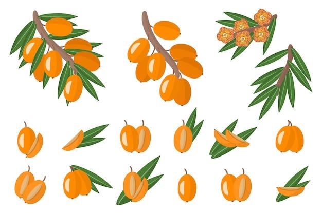Insieme delle illustrazioni con frutti esotici, fiori e foglie dell'olivello spinoso isolati