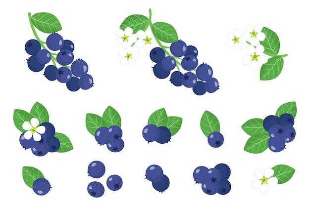 Serie di illustrazioni con frutti esotici shadberry, fiori e foglie isolati
