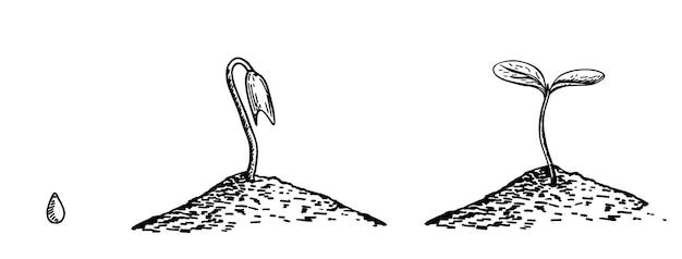 Serie di illustrazioni con fasi di crescita delle piante di schizzo. immagine per banner, siti web, design.