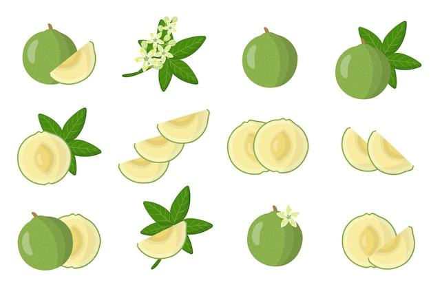Serie di illustrazioni con frutta esotica sapote bianco, fiori e foglie isolati