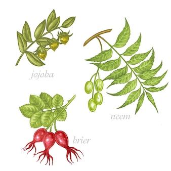 Set di immagini di piante medicinali. gli additivi biologici lo sono. uno stile di vita sano. jojoba, neem, radica.