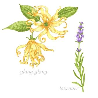 Set di immagini di piante medicinali. gli additivi biologici lo sono. uno stile di vita sano. ylang, lavanda.
