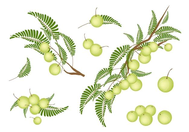 Set di uva spina indiana.