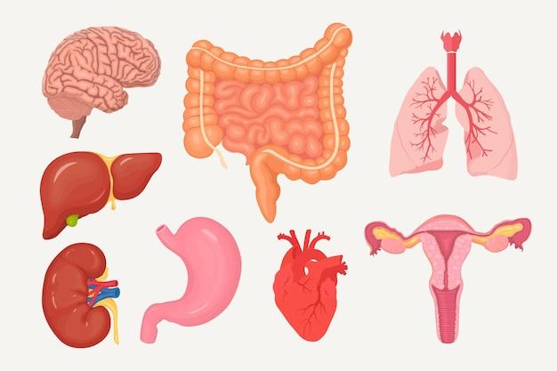 Set di intestini, budella, stomaco, fegato, polmoni, cuore, reni, cervello, sistema riproduttivo femminile
