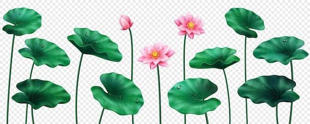 Set di foglie e fiori di loto isolati sbocciano di fagioli egiziani e boccioli con gocce d'acqua