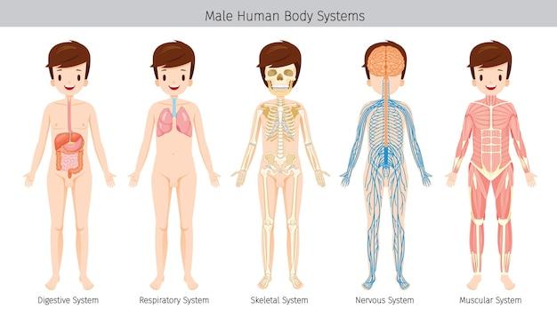 Set di anatomia umana maschile, sistemi del corpo Vettore Premium