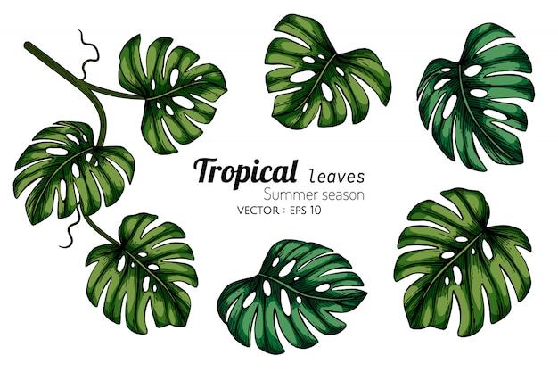 Insieme dell'illustrazione tropicale del disegno della foglia di monstera con la linea arte su bianco