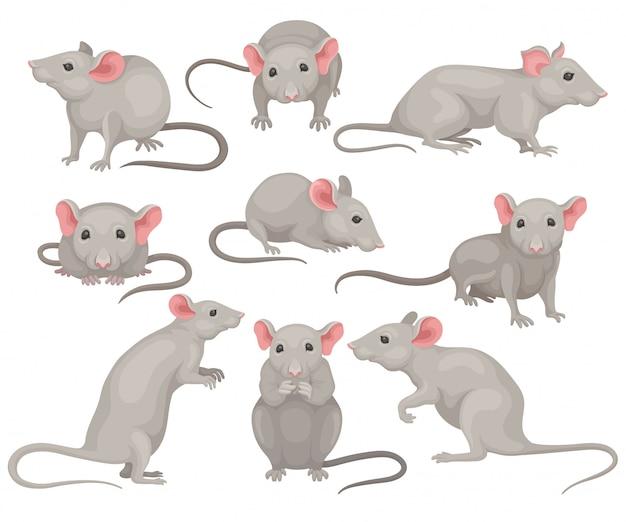 Set di mouse in diverse pose. piccolo roditore con mantello grigio, grandi orecchie rosa e coda lunga. simpatici topi domestici