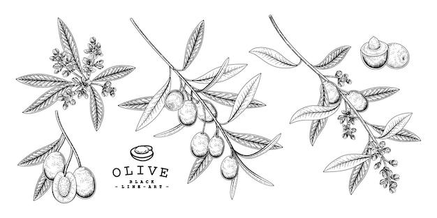 Set di oliva botanico isolato su bianco