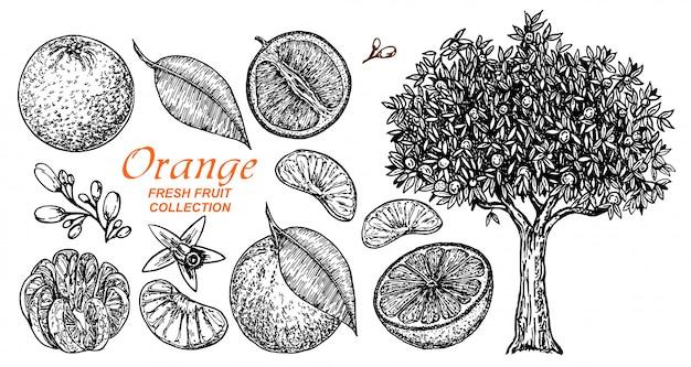 Impostare schizzo disegnato a mano di arance. insieme disegnato a mano di diversi tipi di agrumi. collezione di elementi alimentari per il design, albero di arancio. illustrazione.