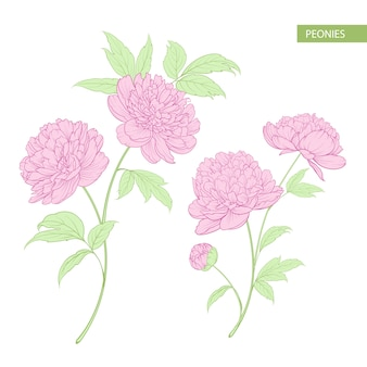 Set di fiori di peonia.