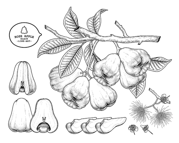 Set di rose apple frutta disegnati a mano elementi illustrazione botanica