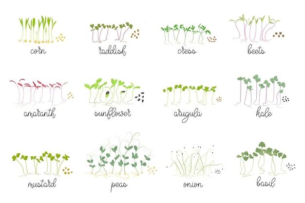Set di semi e germogli di micro verdure erbe ravanelli senape bietola girasole insalata di crescione