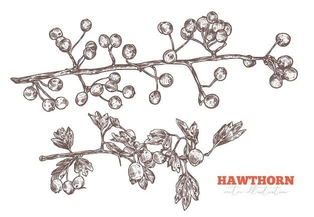 Set di schizzo disegnato a mano rami di biancospino con fogliame e bacche. illustrazione di schizzo