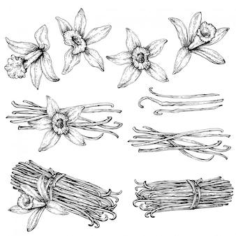 Set di baccelli di vaniglia, bastoncini con fiore di vaniglia. schizzo del disegno della mano isolato su fondo bianco. erbe e spezie da cucina.