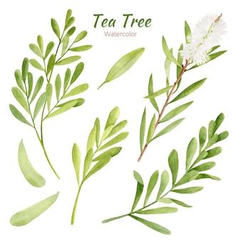 Insieme delle foglie e dei rami dell'albero del tè dell'acquerello