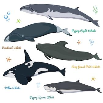 Set di balene dal mondo killer whale pygmy sperm, bowhead, right, pilot con pinne lunghe