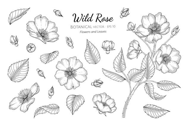 Insieme dell'illustrazione botanica disegnata a mano del fiore e della foglia della rosa selvatica con la linea arte