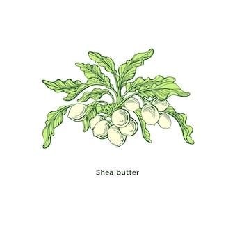 Pianta di karitè ramo di karitè foglie verdi noci illustrazione grafica