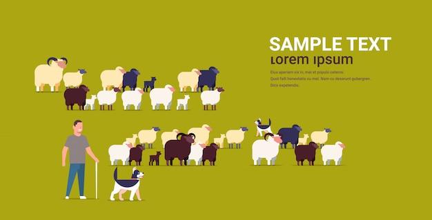 Pastore con bastone e cani che radunano greggi di pecore nere contadino maschio allevamento lana di pecora fattoria terreno agricolo