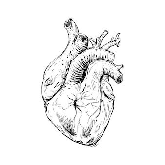 Schizzo illustrazione anatomica del cuore umano