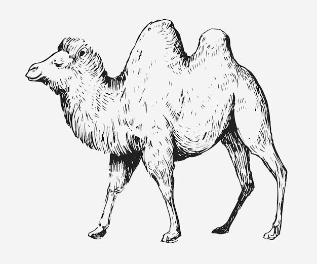 Schizzo di un cammello. illustrazione disegnata a mano isolato su bianco