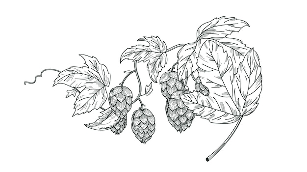 Schizzo della pianta del luppolo, ramo di luppolo con foglie e coni di luppolo in stile incisione. composizione isolata vettore di luppolo.