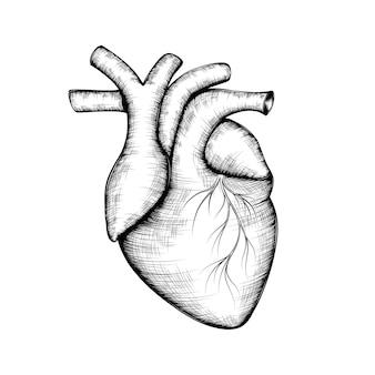 Schizzo di un cuore umano.