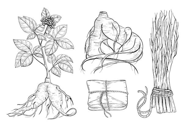 Illustrazione di schizzo del disegno della pianta medica di panax ginseng