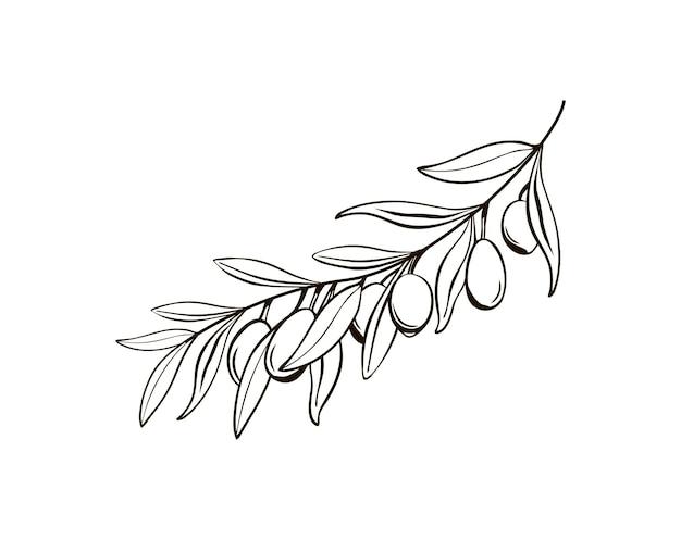 Schizzo di rami di ulivo isolati con bacche disegno in bianco e nero del simbolo dell'italia
