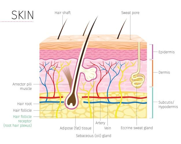 Diagramma di anatomia della pelle e dei capelli