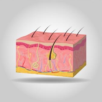 Illustrazione dello strato della pelle