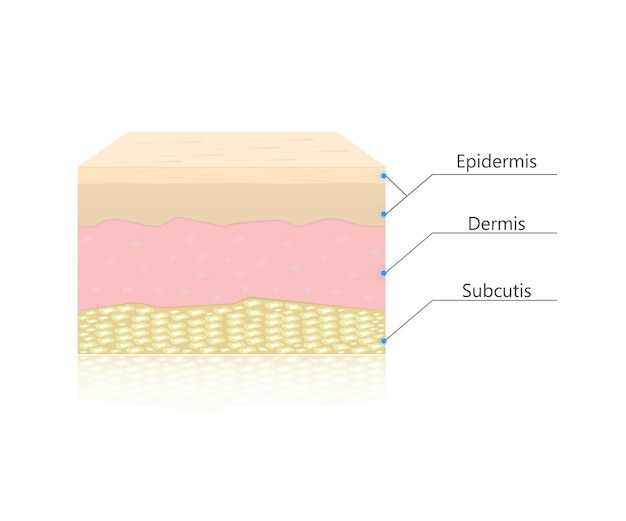 Vettore di strati di pelle