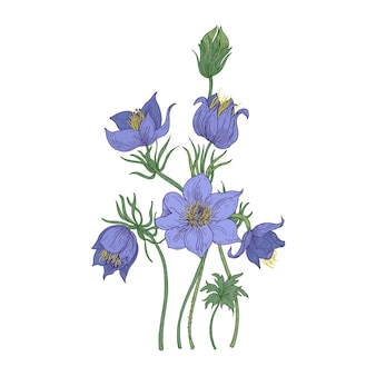 Piccoli fiori pasque isolati su sfondo bianco. disegno botanico della pianta da fiore velenosa perenne utilizzata nella medicina tradizionale o nella fitoterapia.