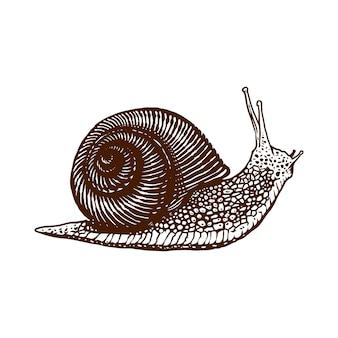 Illustrazione disegnata a mano dell'incisione della lumaca