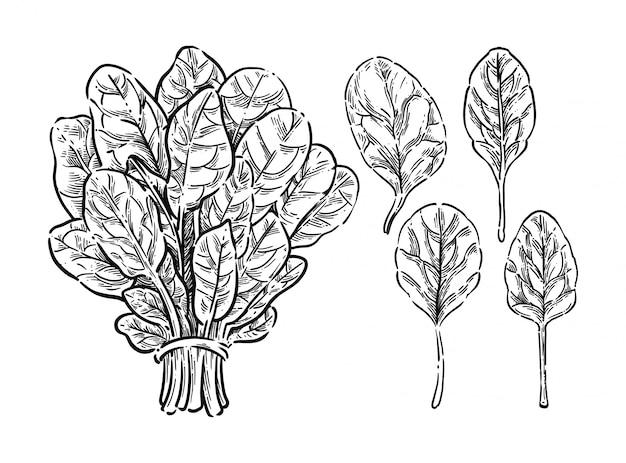 Illustrazione di spinaci