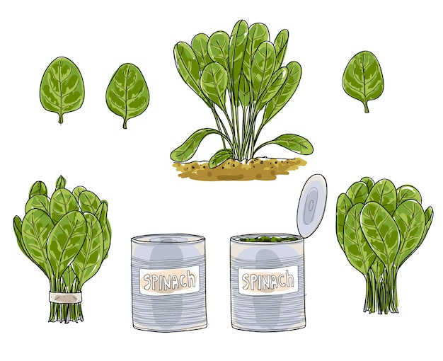 Illustrazione stabilita di arte di vettore disegnato a mano di arte delle foglie degli spinaci