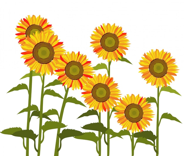 Sun flower vector.