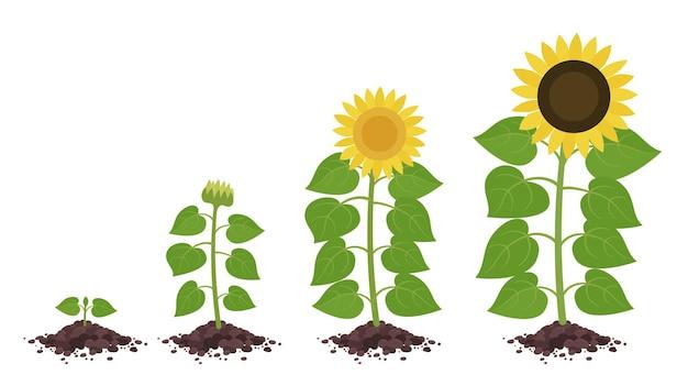 Fasi del ciclo di crescita del girasole. sviluppo di piante agricole.