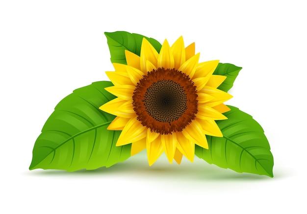 Vettore realistico dell'icona del girasole isolato. fiore di girasole giallo fiore della natura