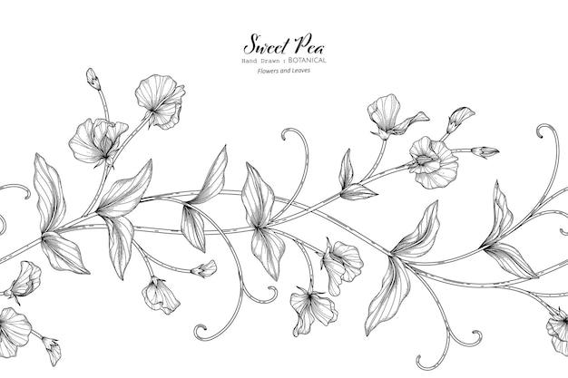 Illustrazione botanica disegnata a mano di fiori e foglie di piselli dolci con line art.
