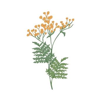 Tanaceto o mucca fiori e foglie amare isolati