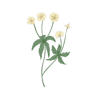 Gara tormentil o septfoil fiori isolati su sfondo bianco.