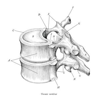 Illustrazione d'annata di anatomia delle vertebre toraciche isolata su fondo bianco con la descrizione