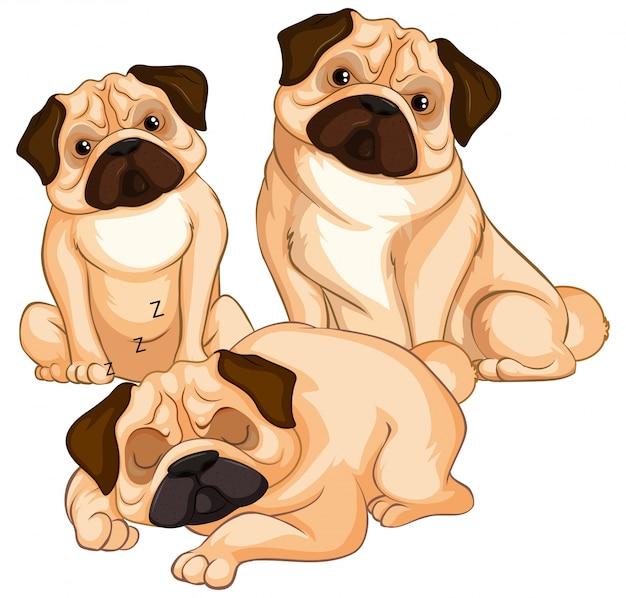 Tre cani del carlino su fondo bianco