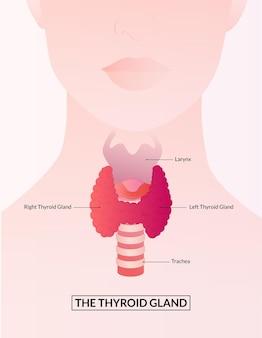 Diagramma della ghiandola tiroidea e della laringe concetto medico della ghiandola tiroidea