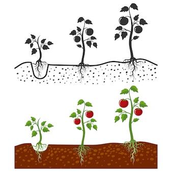 Pianta di pomodori con le fasi di crescita delle radici - stile del fumetto e siluette dei pomodori isolati su bianco