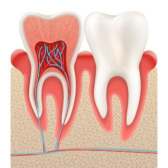 Primo piano di anatomia del dente tagliato via.