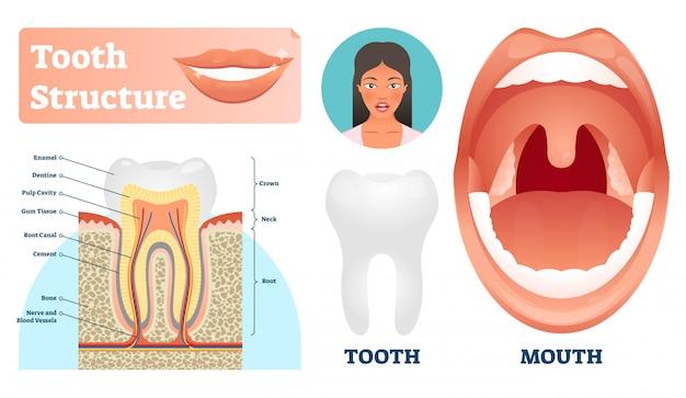 Illustrazione della struttura del dente. schema di denti sani medici etichettati.