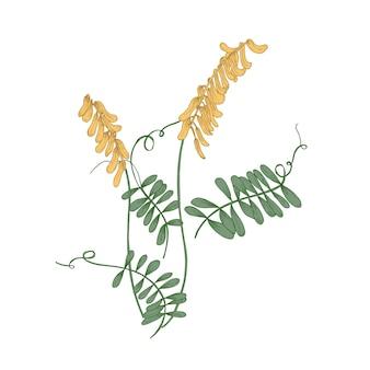 Fiori, steli e foglie di veccia tufted o mucca isolati